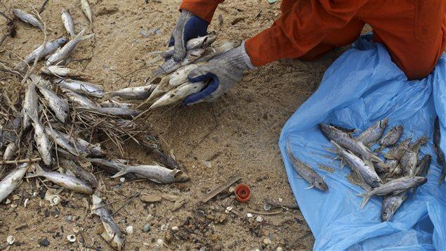 poissons-morts-bresil_sn635